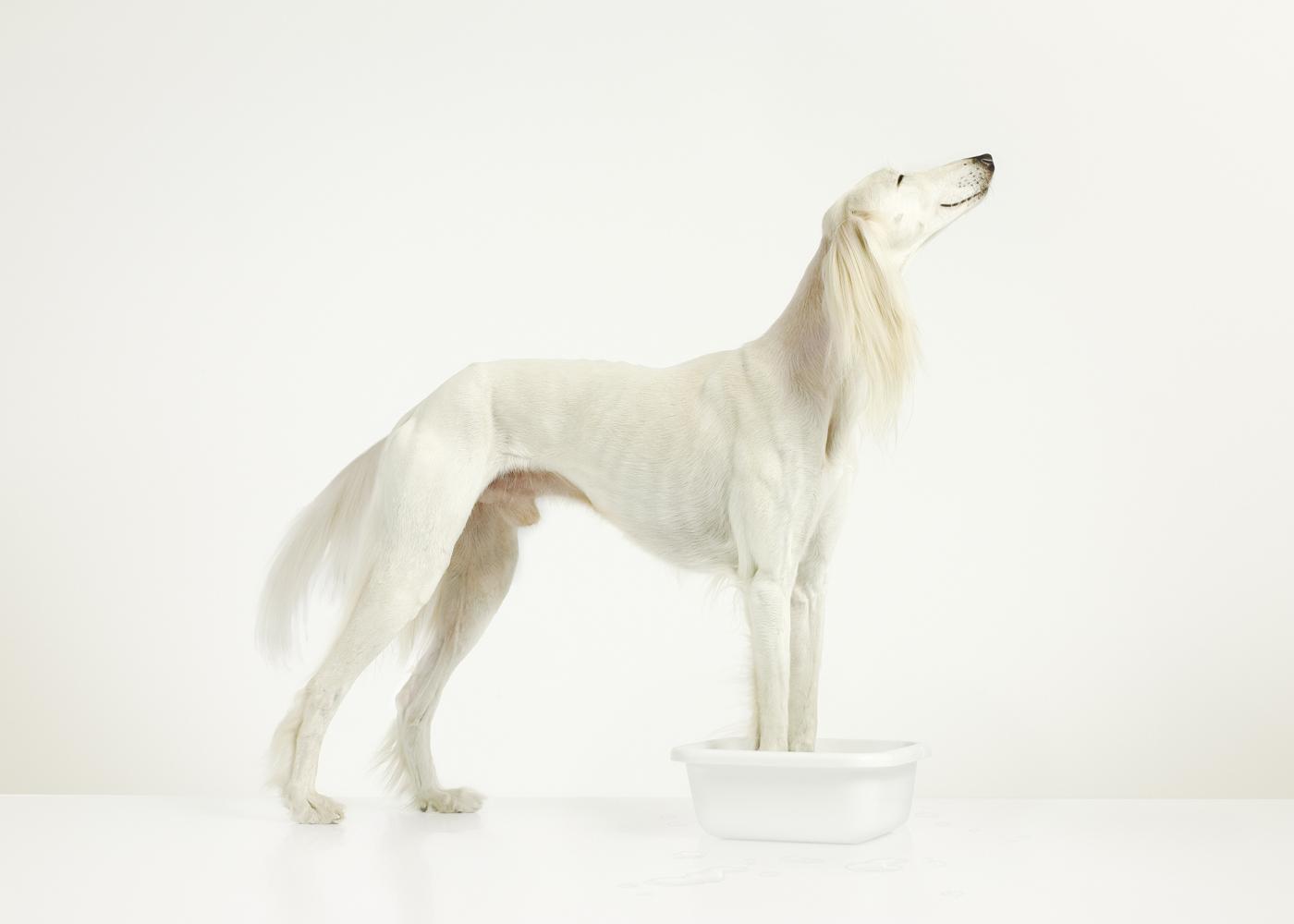 Saluki gazelle hound white studio